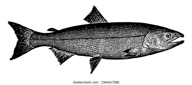 California, the state of Salmon contains several species of ray finned fish of salmonidae family vintage line drawing.
