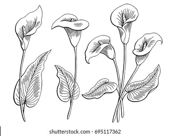 Callas flower graphic black white isolated sketch illustration vector