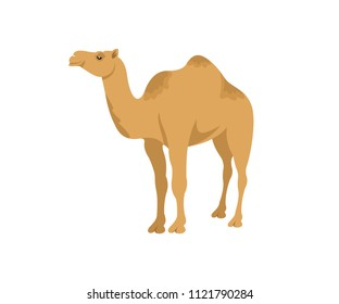 Camel dromedary, illustration. Desert animal and pet, wildlife and nature, vector design, icon