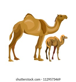 A camel with her calf . Vector illustration isolated on white background