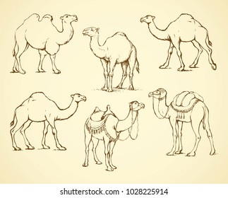 Camel, herbivorous enduring mammal with hump isolated on white background. Freehand outline ink hand drawn picture sketchy in art doodle style pen on paper. Side view with space for text