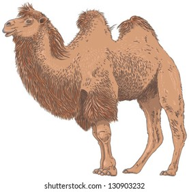 Camel Isolated Vector Illustration