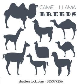 Camel, llama, guanaco, alpaca breeds icon set. Animal farming. Flat design. Vector illustration