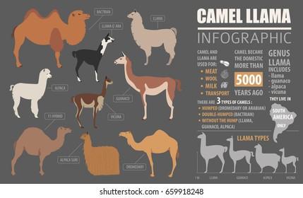 Camel, llama, guanaco, alpaca  breeds infographic template. Animal farming. Flat design. Vector illustration