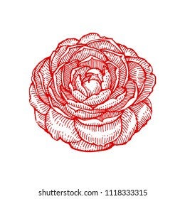 Camelia flower, wild rose with petals line art engraving vintage stock vector illusteation isolate on white backfround