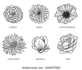 Camelia, zinnia, chrysanthemum, cornflower, magnolia and rose flowers drawing and sketch with black line-art on white background. Vector illustration. Eps10