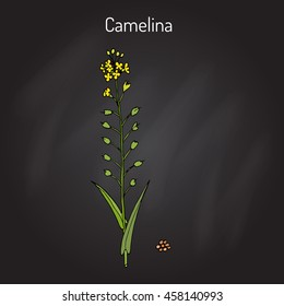 Camelina sativa or gold-of-pleasure, or false flax, flowering oil plant. Hand drawn botanical vector illustration