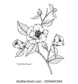 Camellia Japonica flower drawing illustration. Black and white with line art  on white backgrounds.