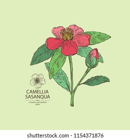 Camellia sasanqua: camellia flowering branch, leaves, camellia sasanqua flowers and bud. Cosmetic, perfumery and medical plant. Vector hand drawn illustration