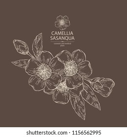 Camellia sasanqua: flowering branch, leaves, camellia flowers and bud. Cosmetic, perfumery and medical plant. Vector hand drawn illustration