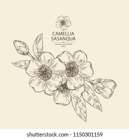 Camellia sasanqua:  leaves, camellia sasanqua flowers and bud. Cosmetic, perfumery and medical plant. Vector hand drawn illustration