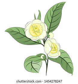 Camellia (tea) twig with flowers, buds and leaves