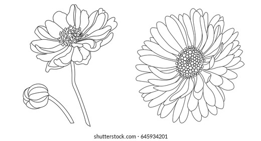 Camomile, echinacea flower drawing vector illustration.