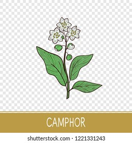 Camphor. Plant. Leaves, flower. Sketch. On a transparent background.
