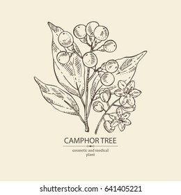 Camphor Tree: leaves berries and camphor flowers. Perfumery,  cosmetics and medical plant. Vector hand drawn illustration