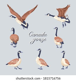Canada geese. Hand-drawn set of birds. Vintage collection. Vector illustration.