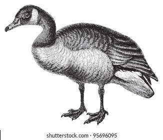 Canada Goose (Branta canadensis) / vintage illustration from Meyers Konversations-Lexikon 1897