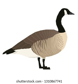 Canada goose Vector illustration of bird Isolated object set
