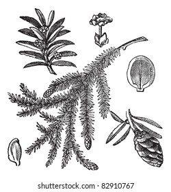 Canadian Hemlock or Tsuga canadensis or Eastern Hemlock, vintage engraving. Old engraved illustration of Canadian Hemlock isolated on a white background. Trousset encyclopedia (1886 - 1891).