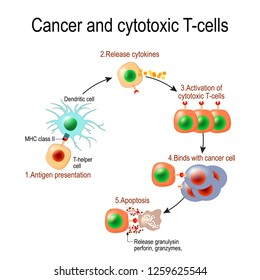 Cancer and cytotoxic T-cells. T lymphocyte kills cancer cells. immune cells release the perforin and granzymes, and attack cancerous cells.