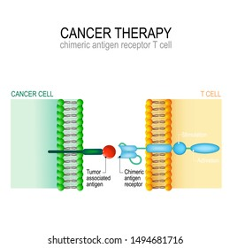 Cancer therapy. CAR T immunotherapy. Artificial T-cell receptors are proteins that have been engineered for cancer therapy (killing of tumor cells). genetically engineered. Vector diagram