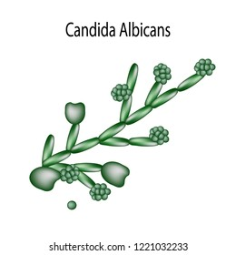 Candida structure. Infographics. Vector illustration on isolated background.