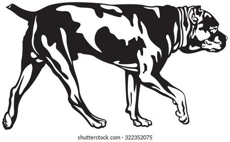 Cane Corso dog walk, dog breed vector illustration from the dog show sign symbol set