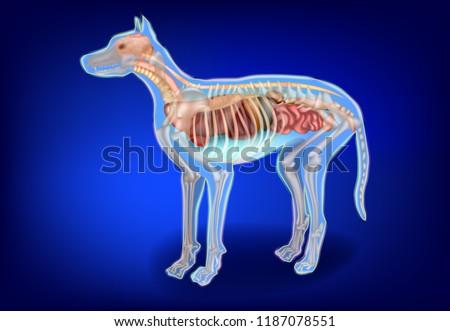 Canine Internal Organs Skeleton Dog Anatomy Stock Vector Royalty
