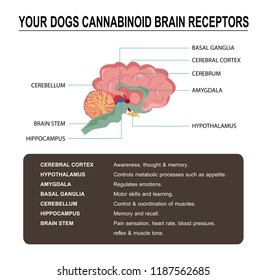 cannabinoid cb1 & cb2 receptor in the dog brain,vector infographic on white background and poster.