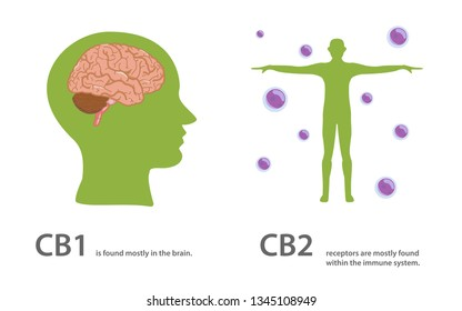 The cannabinoid receptors are further divided into 2 main subtypes, know as CB1 and CB2, healthcare and medical illustration about cannabis
