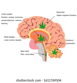 Cannabis and Brain, Cannabis effect on each part of brain, lymbic system, neocortex , basal ganglia, Cerebral Cortex, Amygdala, Hypothalamus, brain stem, Hippocampus, Cerebellum, cerebrum.
