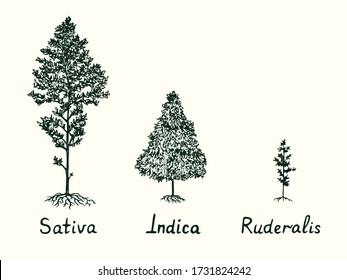 Cannabis Familientypen, Sativa, Indica und Ruderalis Cannabis isoliert, Kontur einfache Doodle Zeichnung, Gravur Stil
