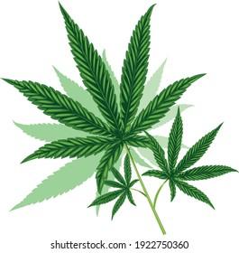 Cannabis green leaf for herbs