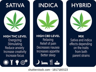 cannabis indica and sativa strains species information graphic guide