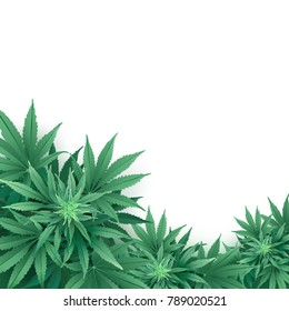 Cannabis or Marijuana background. Realistic vector illustration of the plant in top view on white background.
