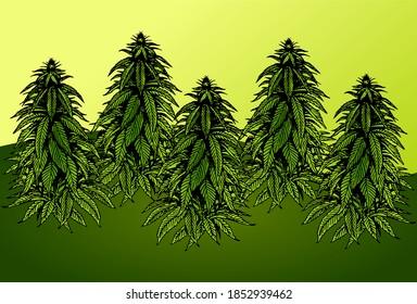 Cannabis Marijuana Plant farm fields design