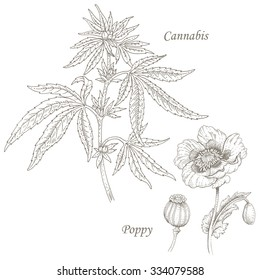 Cannabis, poppy. Set of illustration of medical herbs. Isolated image on white background. Vector.