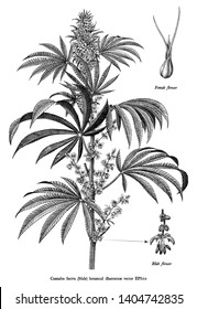 Cannabis sativa male tree botanical vintage engraving illustration black and white clip art isolated on white background