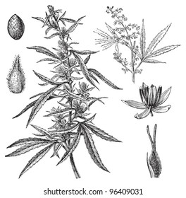 (Cannabis sativa) / vintage illustration from Meyers Konversations-Lexikon 1897