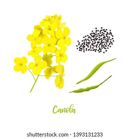 Canola or colza. flowers, seeds, leaf. Rapeseed blossom isolated on white. Brassica napus. Blooming rape yellow