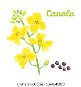 Canola flower and seed vector flat illustration on wighe background.  Brassica napus, rapeseed, colza, oil seed.