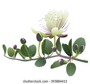 Caper. Hand drawn vector illustration of caper (Capparis spinosa) with flowers and buds.