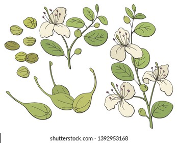 Capers graphic color isolated sketch illustration vector
