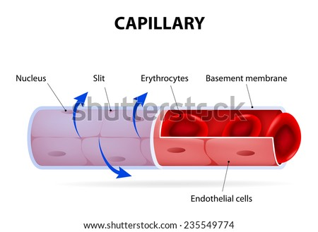 Capillary Blood Vessel Labelled Vector Diagram Stock Vector (Royalty ...