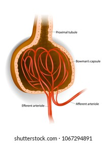 Bowman's capsule. Microscopic structure of the kidney - Glomerulus Bowman's capsule Afferent arteriole Efferent arteriole
