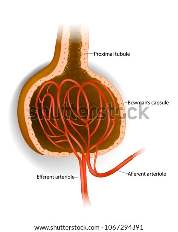 Capsule Microscopic Structure Kidney Glomerulus Bowmans Stock Vector