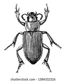 Caraboid Beetle having the left mandible longer than the other, vintage line drawing or engraving illustration.