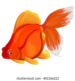 Carassius auratus (gold fish). Fish isolated on a white background. Vector illustration.