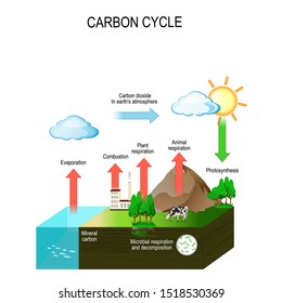 carbon cycle. The carbon path from the atmosphere, into living organisms, then turning into dead organic matter, and back into the atmosphere. Vector diagram
