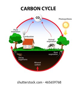 The Carbon Cycle Diagram.Carbon Cycle Images Stock Photos Vectors Shutterstock